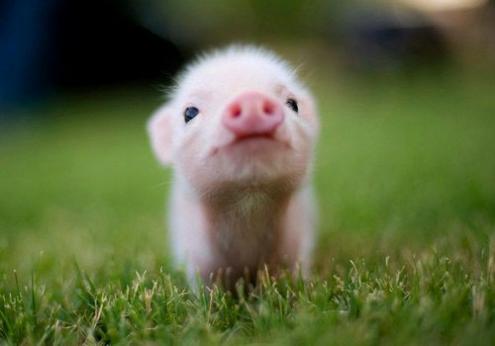 cute pig...